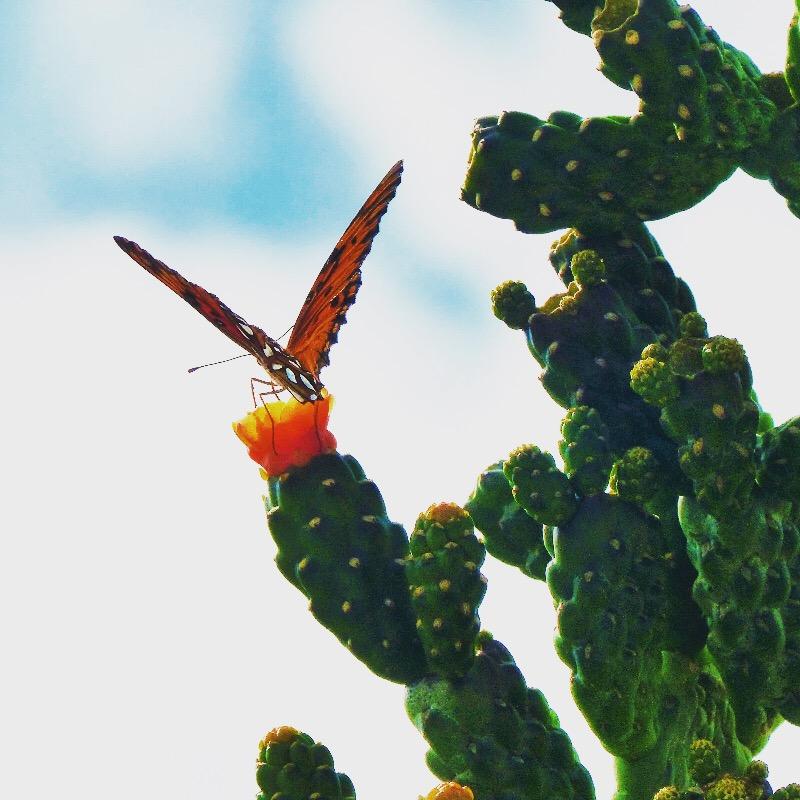 Papillon et cactus a Basse-Terre